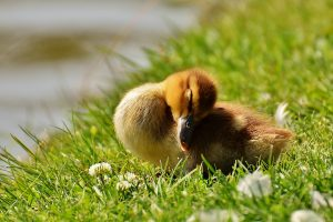 sleeping-duckling